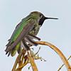 RM Anna's Hummingbird 700_3802