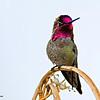 RM Anna's Hummingbird 700_3739