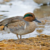 RM_D3_Green_Winged_Teal_1749