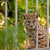 Bobcat 06
