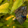 Dead_leaf_butterfly_7104