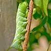 Caterpillar_5001