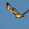 RM_D7000_Unhappy_Adult_Red_tail_Hawk_2646