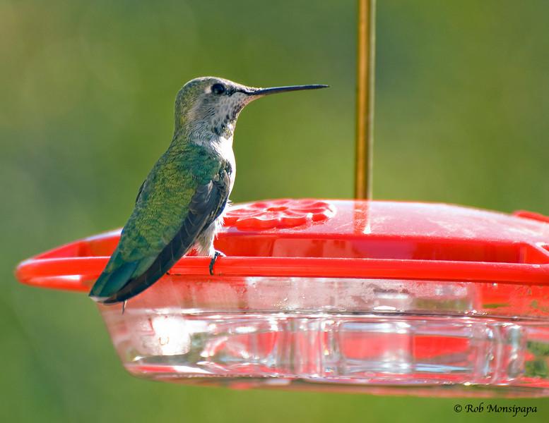 Humming Bird on feeder 02