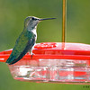 Humming Bird on feeder 02