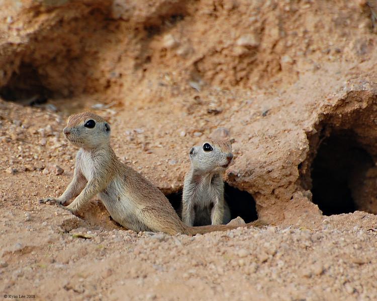 ground squirrels 001