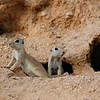 ground squirrels 001