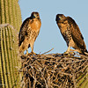 RM_D7000_Juvenile_Red_Tailed_Hawks