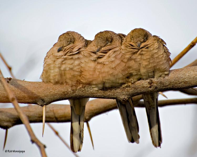 RM 700_1852<br /> Gilbert Water Ranch - Inca Doves