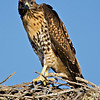 RM_D7000_Juvenile_Red_Tail_Hawk_2694