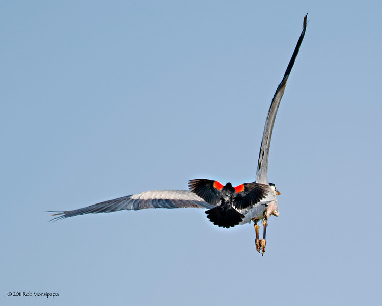RM_D3_9530<br /> <br /> Red Wing Black Bird literally on the tail feathers of a Great Blue Heron, and the chase is on!