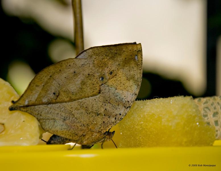 Dead_leaf_butterfly_7105