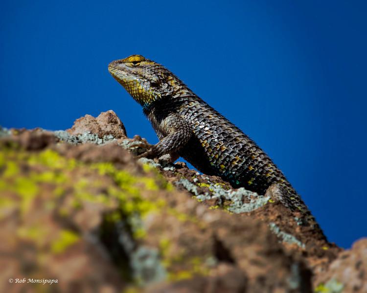 RM_lizard_7D_6553