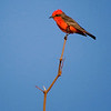 RM Male vermillion flycatcher 15337