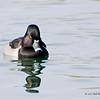 Duck 001