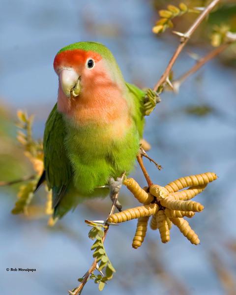 RM_D3_Peach_Face_Love_Bird_1142