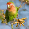 RM_D3_Peach_Face_Love_Bird_1142