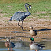 RM_D3_Heron_with_fish_3006