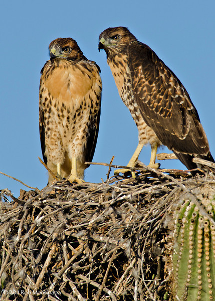RM_D7000_Juvenile_Red_tailed_HAwks_2585