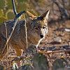 RM_Sonoran_Coyote_700_0205