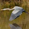 RM_D3_Blue_Heron_in_flight_2568
