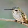 Humming bird 001
