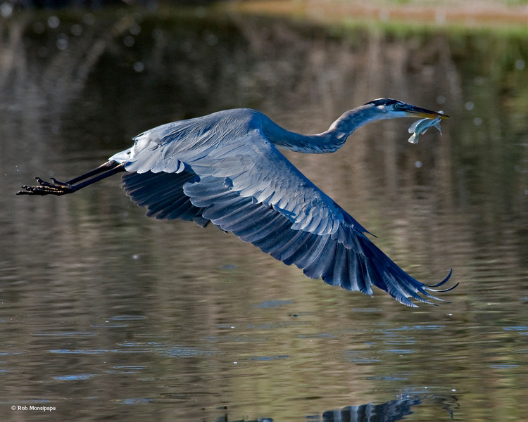 RM_D3_Heron_with_fish_2992