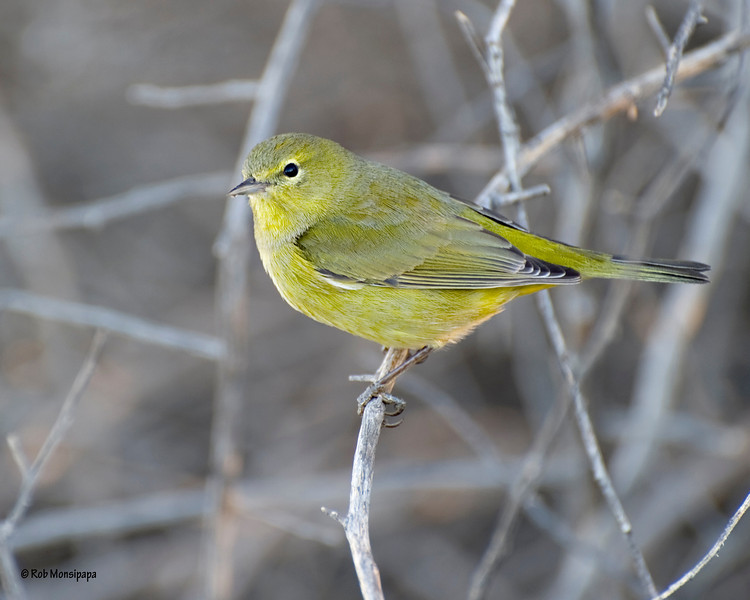 RM_Yellow_Bird_700_0065