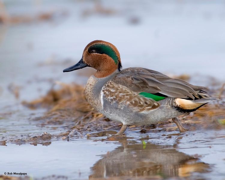 RM_D3_Green_Winged_Teal_1572