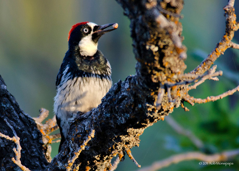 Male Acorn Woodpecker in Northern AZ, Rock Crossing Camp Ground<br /> <br /> RM_D7000_3671.jpg