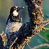 Male Acorn Woodpecker in Northern AZ, Rock Crossing Camp Ground<br /> <br /> RM_D7000_3671.jpg