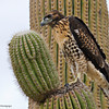 RM_D7000_Juvenile_Red_Tail_Hawk_2253