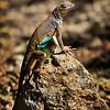 RM_lizard_7D_6675