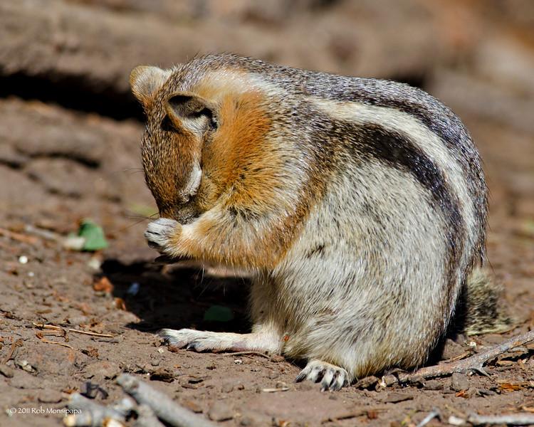 RM_D7000_Ground_Squirrel_5205