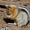 RM_D7000_Ground_Squirrel_5205