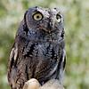 Eastern_Screech_Owl_6767