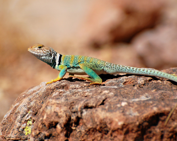 lizard 004