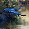 RM_D3_Heron_with_fish_2988