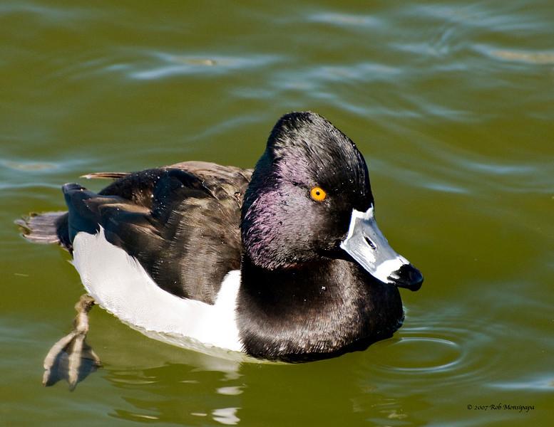Duck 011