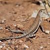 RM_lizard_7D_6604
