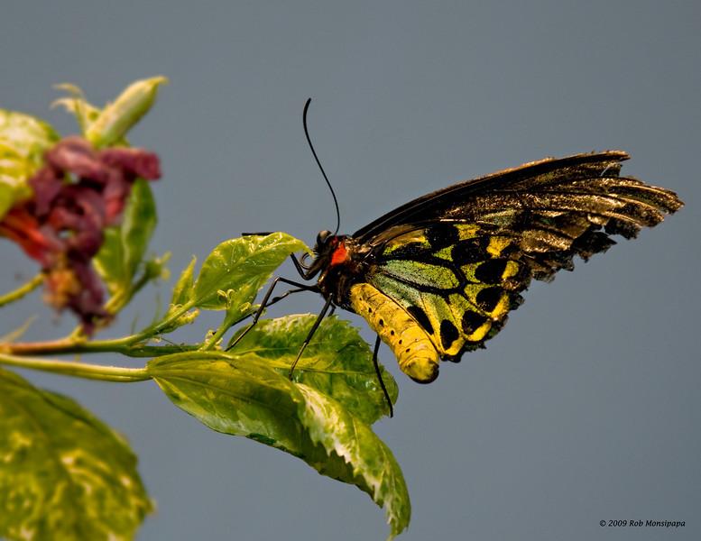 Butterfly_7117