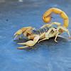 Scorpion_0589