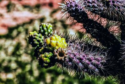 Cactus - Sedona Arizona