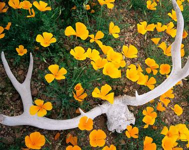 Organ Pipe Cactus Natn'l. Monument, AZ/ Mexican Poppies (Eschscholtzia californica) surrounding  sun-bleeched  muledeer antlers, Ajo Mountains. 398