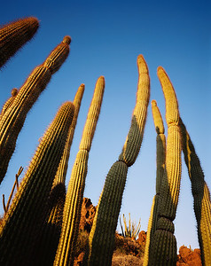 Organ Pipe Natnl.Mon., AZ/Organ Pipe cactus framing other cacti 11/86 vert                    xb
