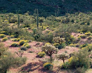 Organ Pipe Cactus Natn'l., AZ/Monument. Brittlebush (Encelia farinosa) & chain cholla (Opuntia fulgida)amid red owl's clover (Orthocarpus purpurascens) Blanco Mountains.395H6