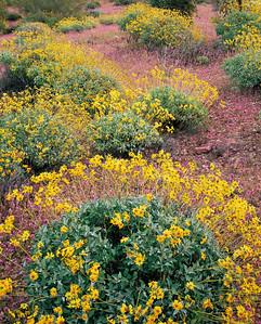 Organ Pipe Cactus Natn'l., AZ/Monument. Brittlebush (Encelia farinosa) & chain cholla (Opuntia fulgida)amid red owl's clover (Orthocarpus purpurascens) Blanco Mountains.395V2