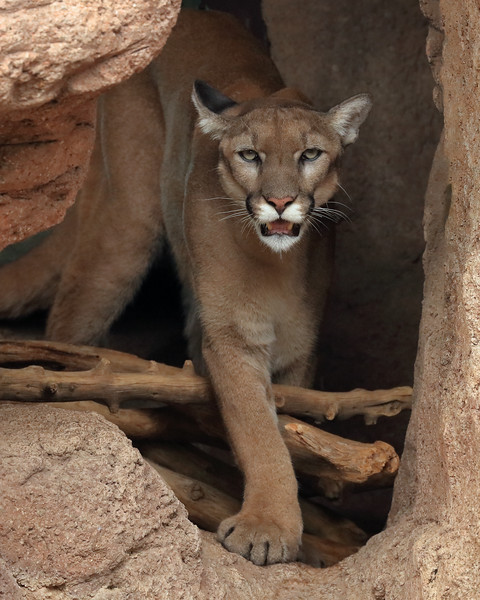 Mountain Lion, Pima County, Arizona