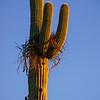 Bird's Nest in Saguaro