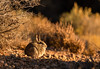 Cottontail at dawn
